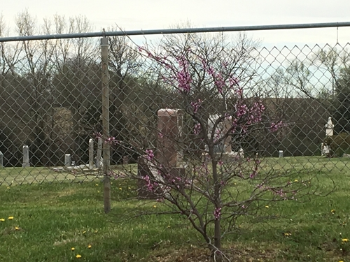 Red bud_tree_500